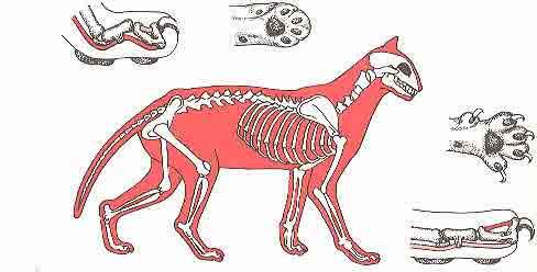katzen skelett bilder